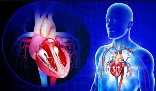 Сердце человека как двигатель организма